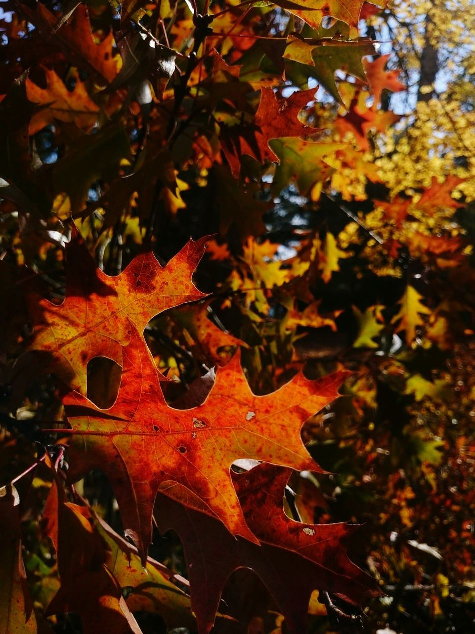Fall oak leaves.. Fall Beauty Fall_collection Fall Leaves Fall Colors Autumn Leaves Autumn Colors Autumn🍁🍁🍁 Autumn EyeEm Nature Lover EyeEm Gallery EyeEm Nature Collection Simplicity