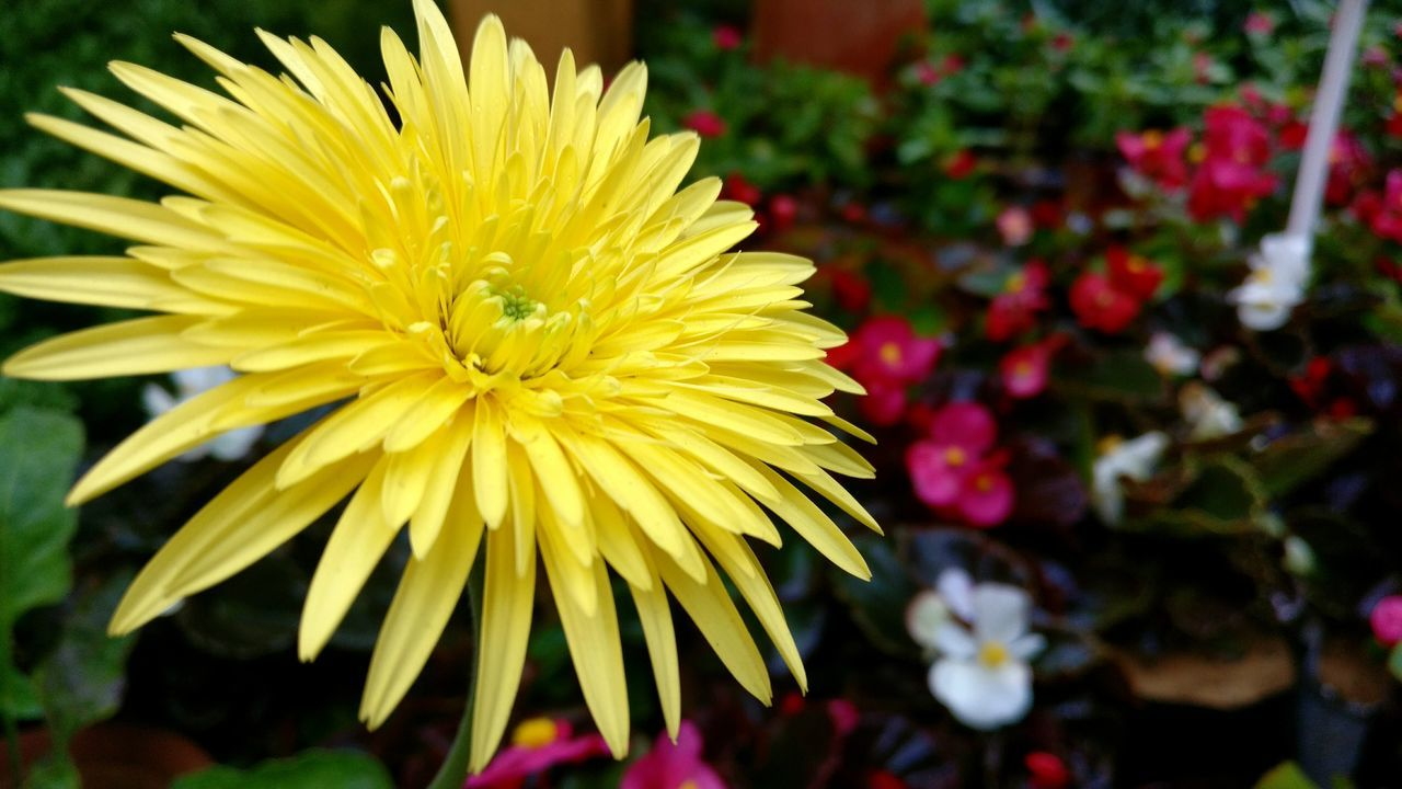 flower, fragility, beauty in nature, petal, nature, freshness, yellow, flower head, growth, close-up, focus on foreground, blooming, no people, chrysanthemum, outdoors, day, water, gerbera daisy, dahlia