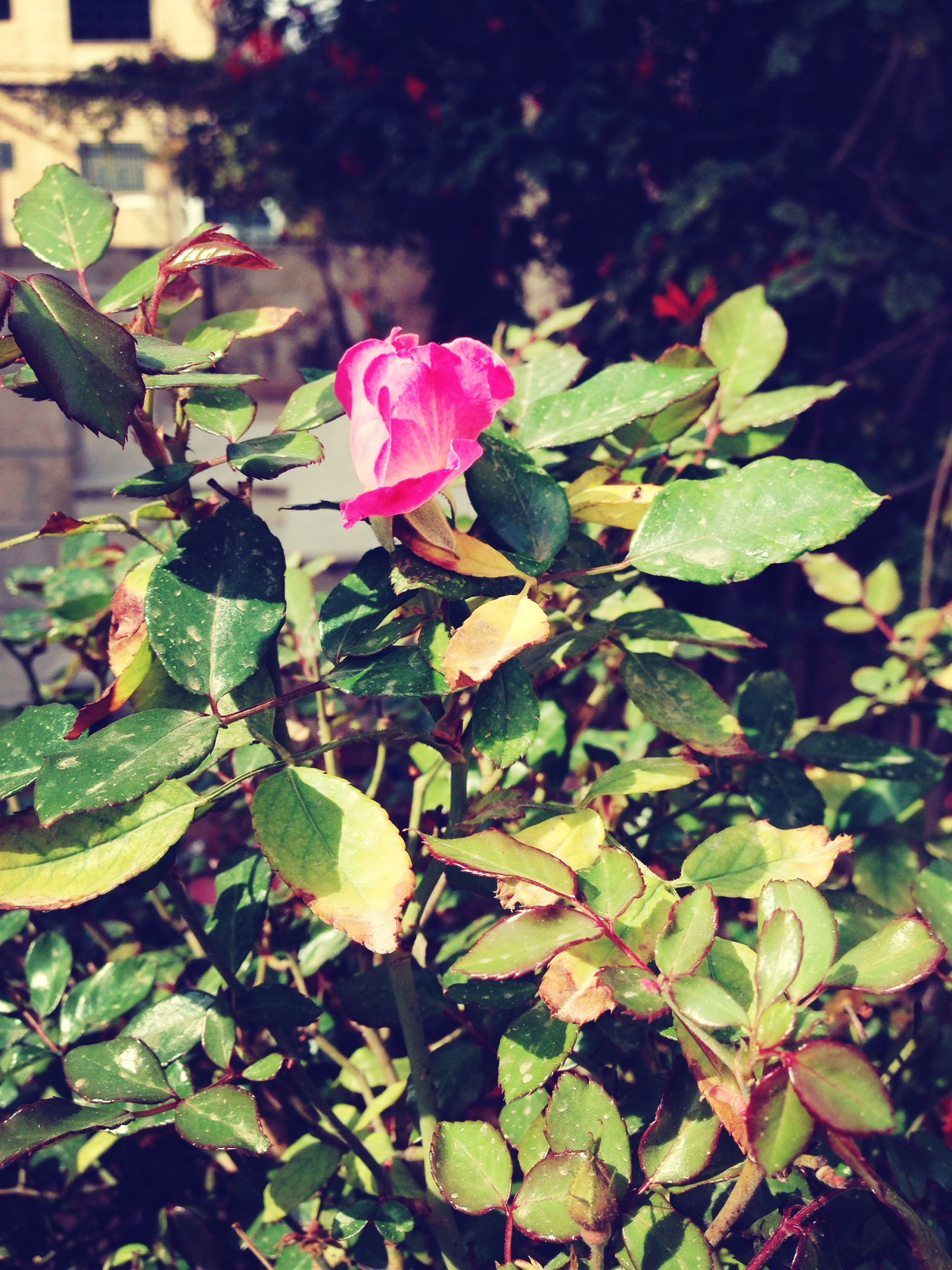 flower, leaf, growth, freshness, petal, fragility, beauty in nature, plant, flower head, nature, blooming, pink color, close-up, green color, in bloom, high angle view, focus on foreground, outdoors, day, park - man made space