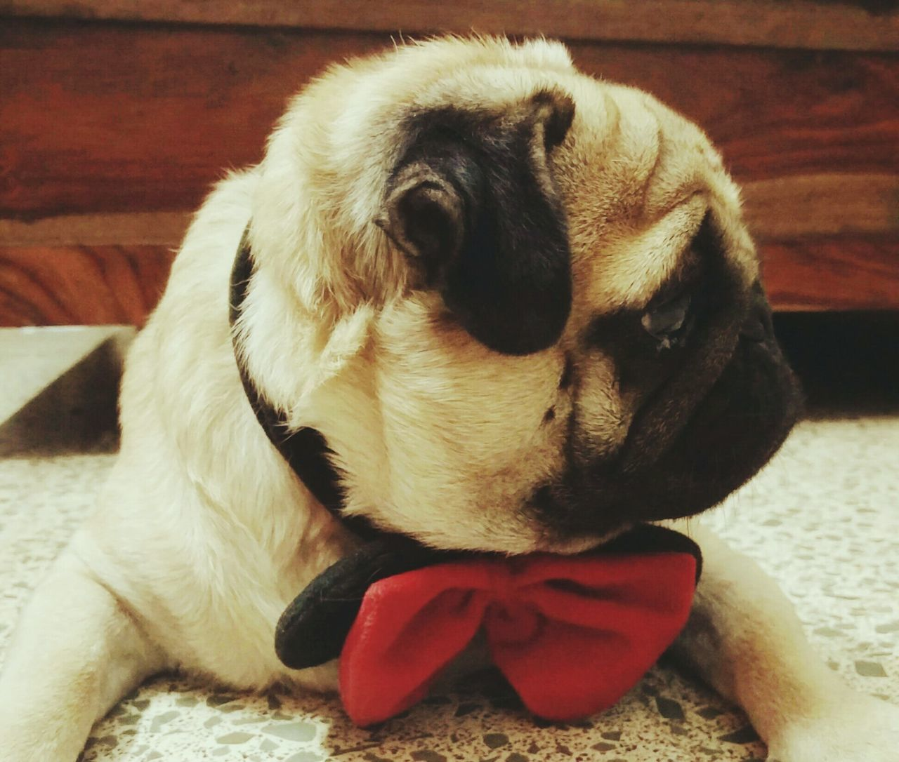 Pug Life. Innocence Adorable Dog Petsofeyeem Bow Red Pets