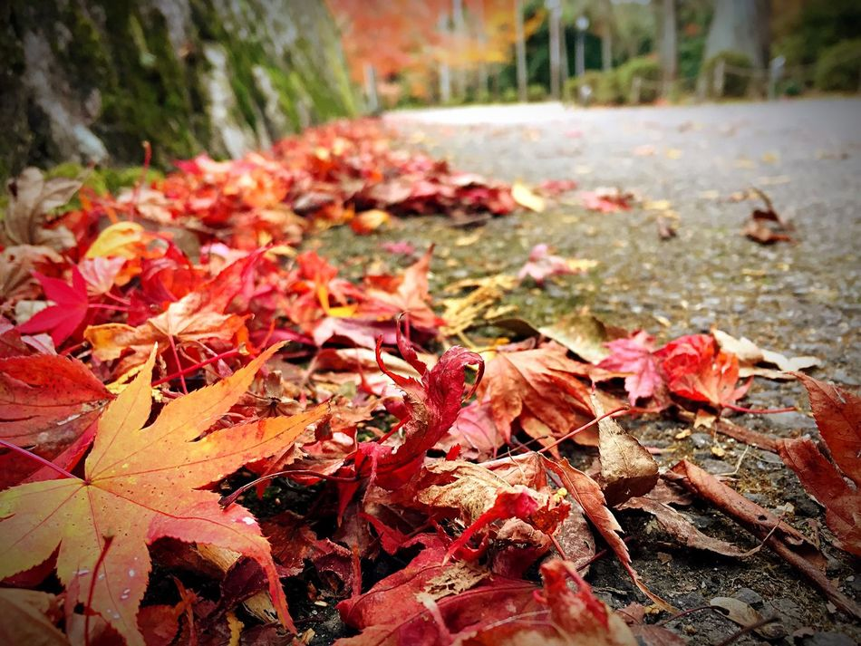 落ち葉🍁 Autumn Leaf Change Nature Beauty In Nature Maple Leaf Maple Outdoors Leaves Close-up Growth No People Day Fragility Fallen Fallen Leaf Fall Scenics Kyoto 曼殊院門跡