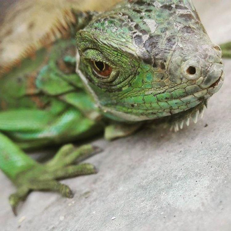 One of my pets <3 Iguana Lovegreen Pet Wildlife Hulk GiftfromGod Godscreation Godsart Likeifyouwantmoreofhim Likeforlike Follow Haveablessedday