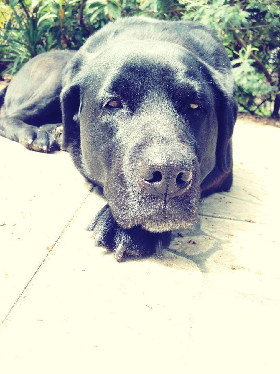 Dog Labrador Animal Wild Black Chilling Garden Holidays