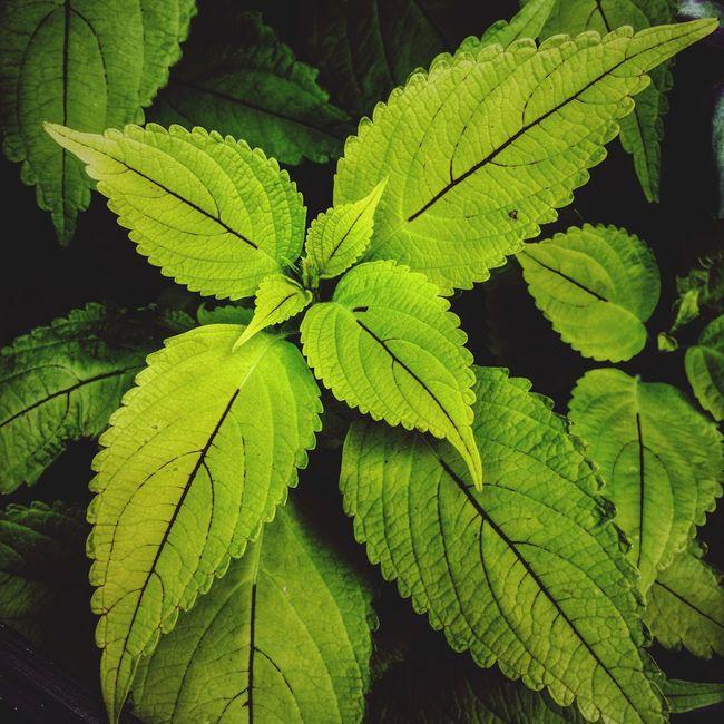 Green Bay  Wisconsin Life Wisconsin Downtown Green Bay Plant Close-up Gardening Botany Urban Lifestyle Summertime Plant Lush Foliage Green Color Green Enjoying Life Coleus