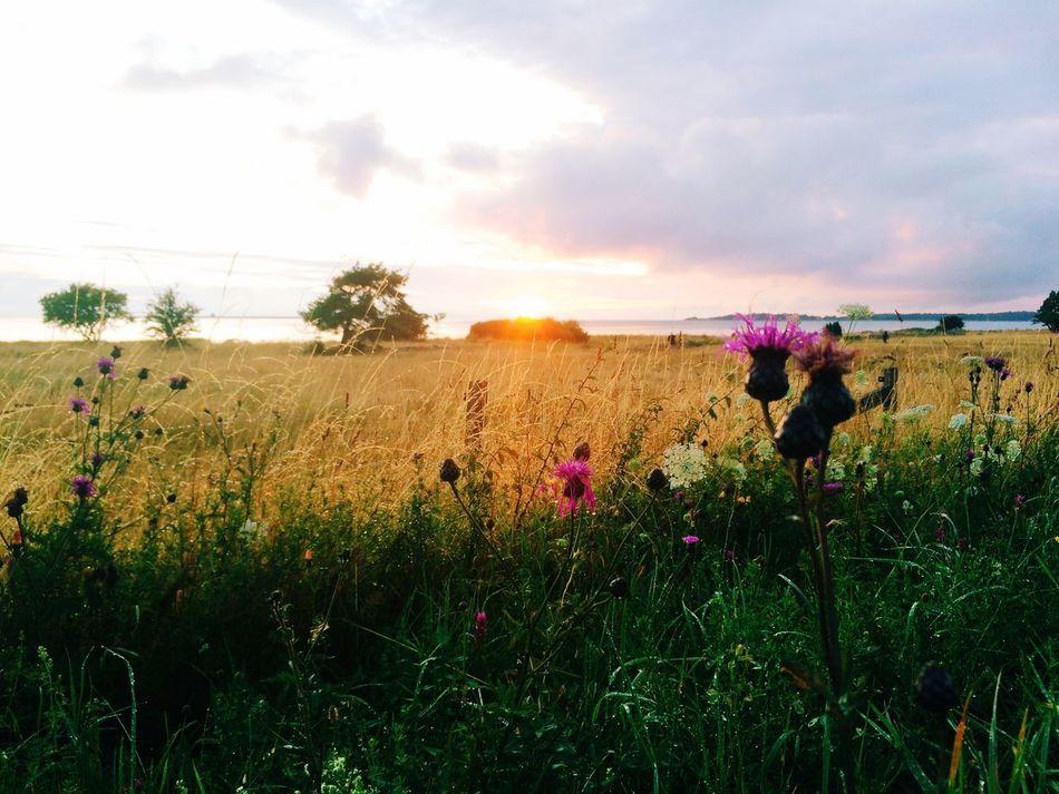 Beautiful stock photos of sweden, Beauty In Nature, Cloud - Sky, Field, Flower