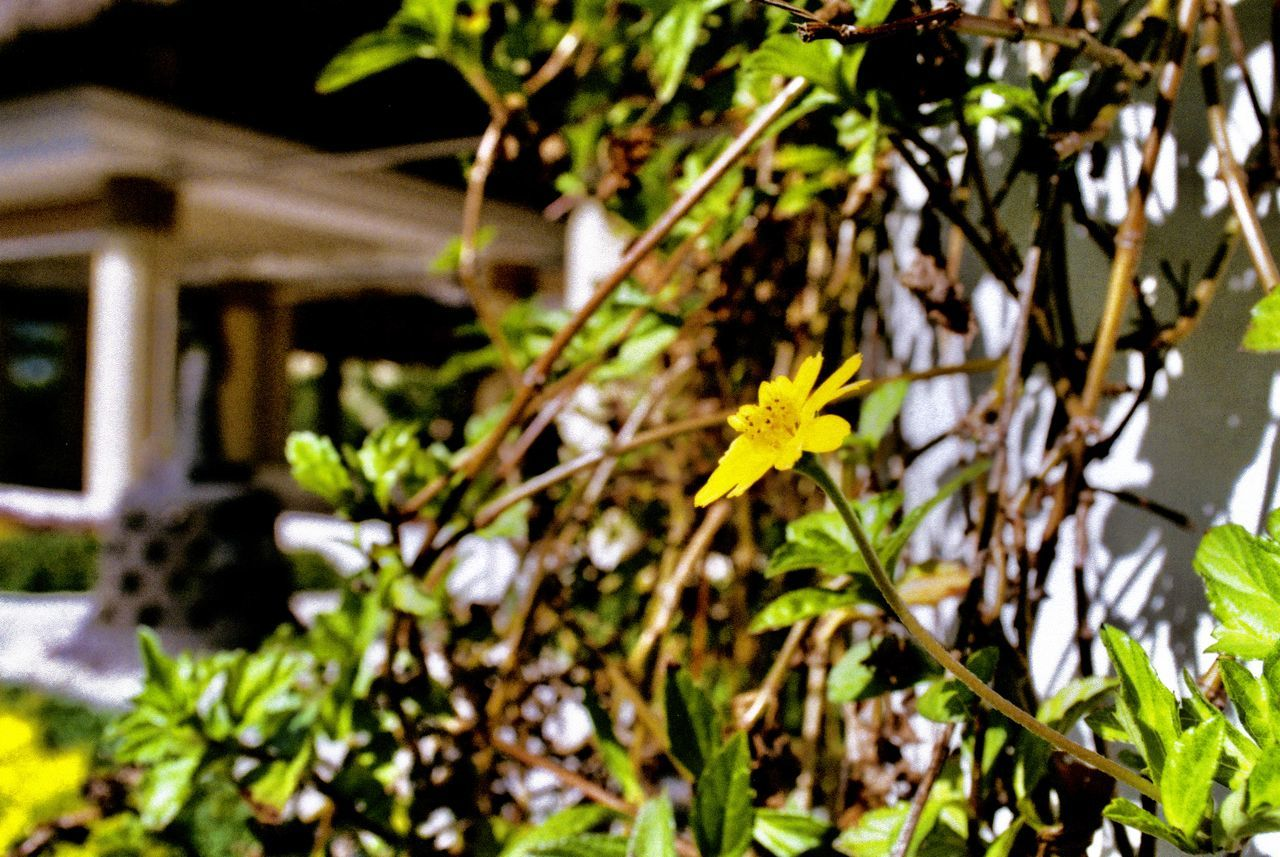 35mm Film Architecture Beauty In Nature Blooming Close-up Day Film Film Photography Flower Flower Head Fragility Freshness Growth Leaf Minolta Minolta Maxxum Nature No People Outdoors Plant Yellow