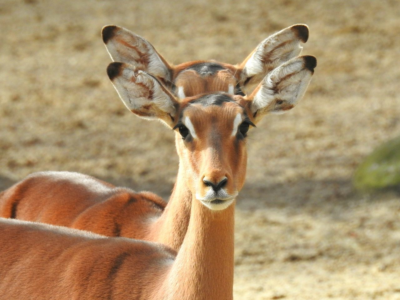Animals In The Wild Looking At Camera Portrait Animal Wildlife Mammal Nature Impala Animal Themes Day No People Outdoors Beauty In Nature Close-up Safari Animals Antilope Gazelle Double In Line Synchronicity Symmetry Herd Animal EyeEmNewHere