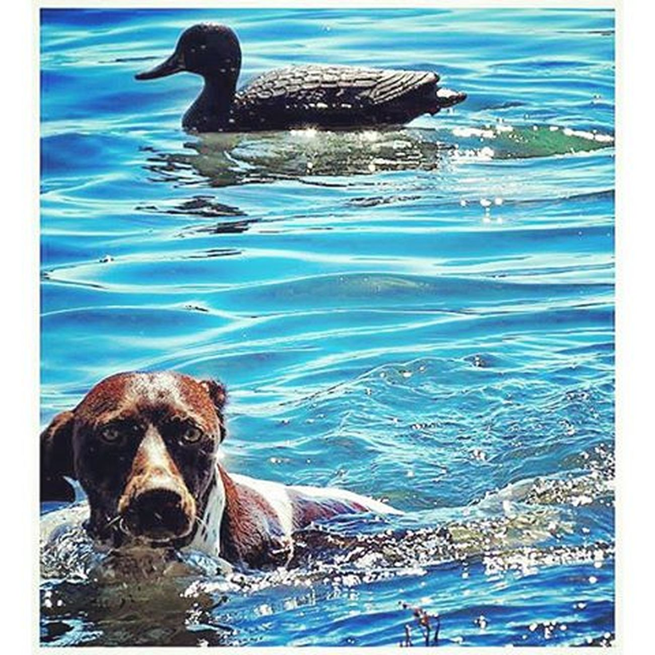 Birddogoftheday Birddogsofinstagram Birddog Fowl Water Fowl Simplistic Beauty Florida Life Duck Pond Nature Photography Hunting Dog Pookie  Gsp German Shorthaired Pointer Shotgun Dog Pointer Bestfriend Waterporn Water - Collection Water Reflections Photography In Motion