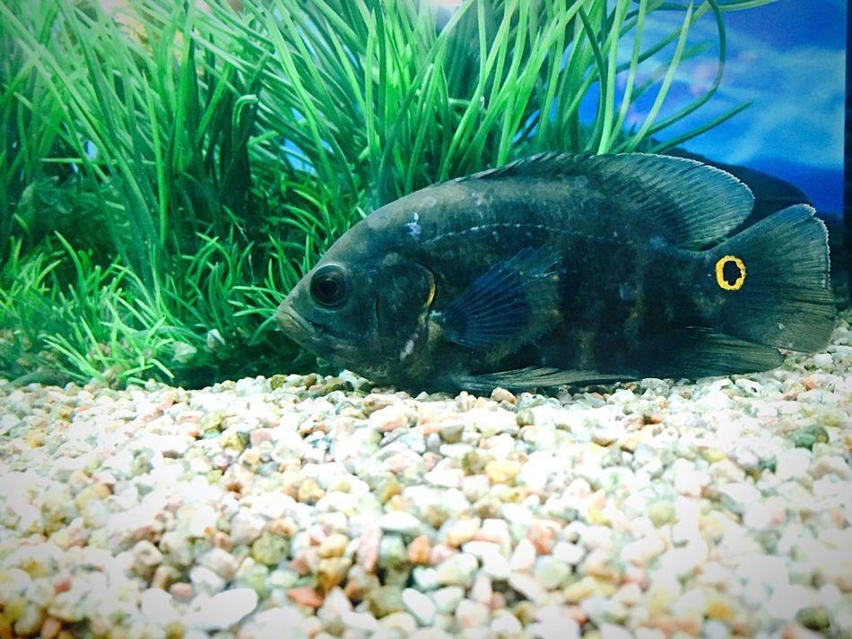 Oscarwilde Fish Pet Fish Fish Tank Water Transparency Aquarium Photography Happy Fish! India
