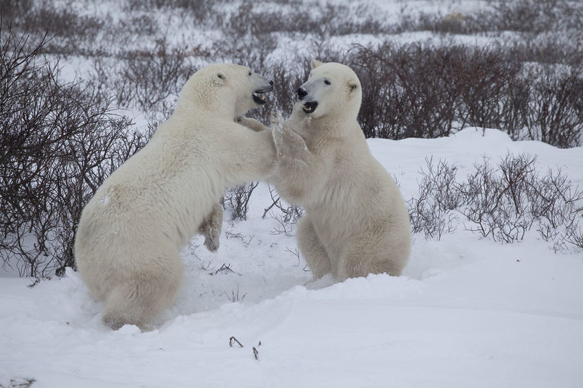 Two Polar Bears are fighting together CHURCHILL Dangerous Animals Greeting Hudson Bay Ice Polar Bear Adventure Animal Themes Animal Wildlife Animals In The Wild Beauty In Nature Canada Dangerous Day Field Fighting Mammal No People North Polar Sea Outdoors Playing Snow Two Animals White Color Winter