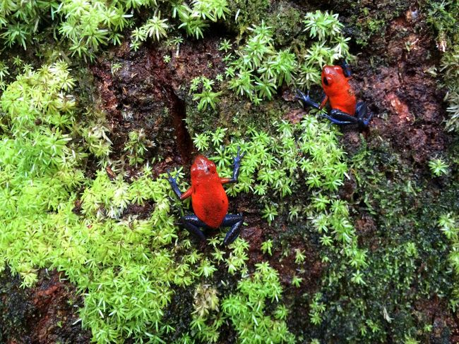 Red Tree Frog Poison Dart Frog IPS2016Closeup
