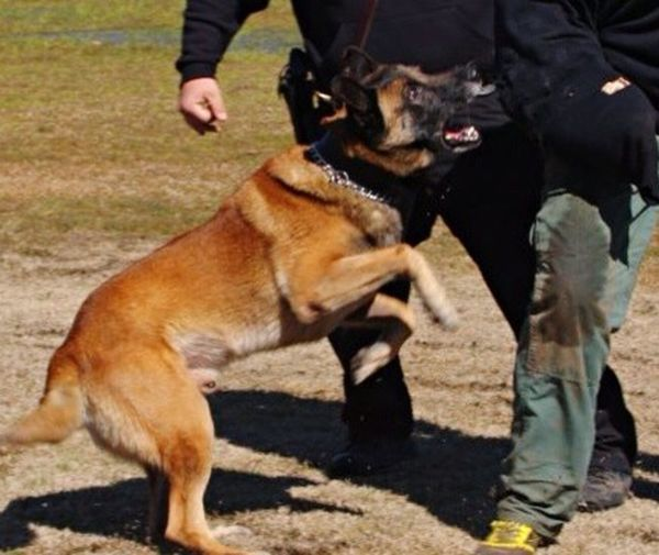 Despite how he looks in this pic, he was such a loving dog! Pet Police Action Shot