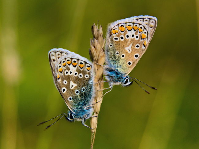 Two Is Better Than One Wildlife One Animal Animals In The Wild Animal Themes Insect Butterfly Butterfly - Insect Perching Close-up Focus On Foreground Animal Wing Natural Pattern Zoology Beauty In Nature Nature Plant Animal Markings Day Arthropod Wing Common Blue Butterfly Wales