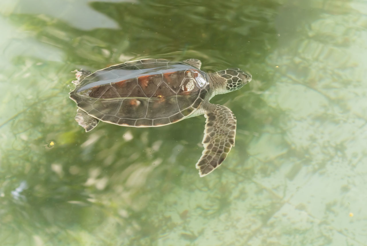 Animal Themes Animal Wildlife Animals In The Wild Close-up Day Nature No People One Animal Outdoors Reptile Sea Turtle Swimming UnderSea Underwater Water Sea Beauty In Nature Domestic Animals Sea Turtles Sea Turtle Love Sea Turtle Swimming Animal Animals Nature Photography Scenics