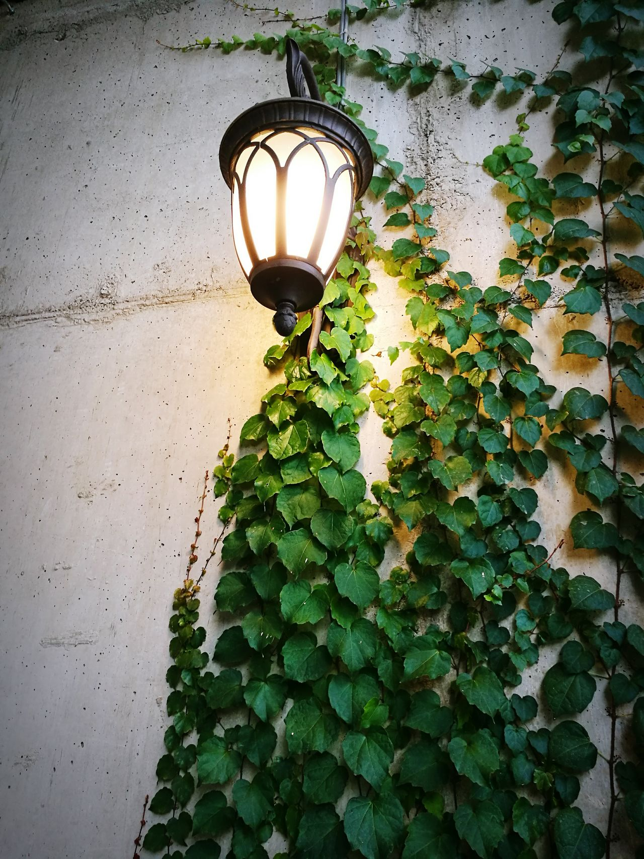 Lighting Equipment Street Light Plant Growth Low Angle View Leaf Illuminated Wall - Building Feature Green Color Electricity  Close-up Electric Light Lamp Electric Lamp Lamp Post Outdoors Street Lamp No People Creeper Freshness