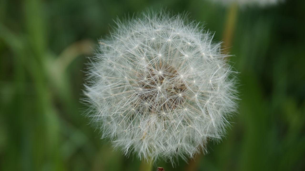 Dandelion Seeds Dandelion Flowers Dandelion Dandelion Globe Clock Flower Dandelion Thoughts Dandelionfluff White Dandelion Barometer