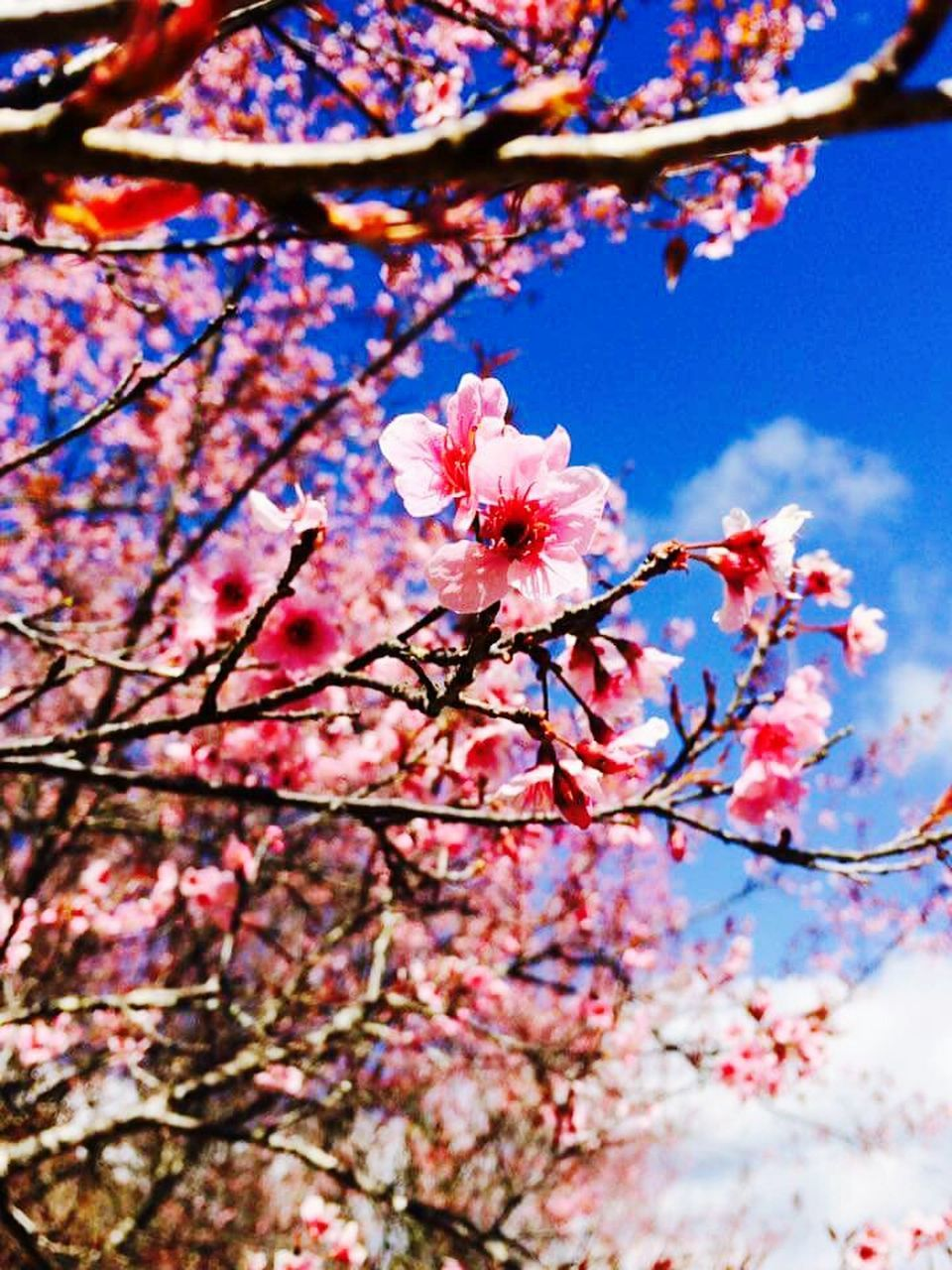 flower, blossom, beauty in nature, tree, branch, springtime, fragility, growth, cherry blossom, freshness, low angle view, nature, cherry tree, apple blossom, orchard, botany, no people, day, plum blossom, twig, pink color, petal, outdoors, sky, selective focus, close-up, stamen, blooming, flower head