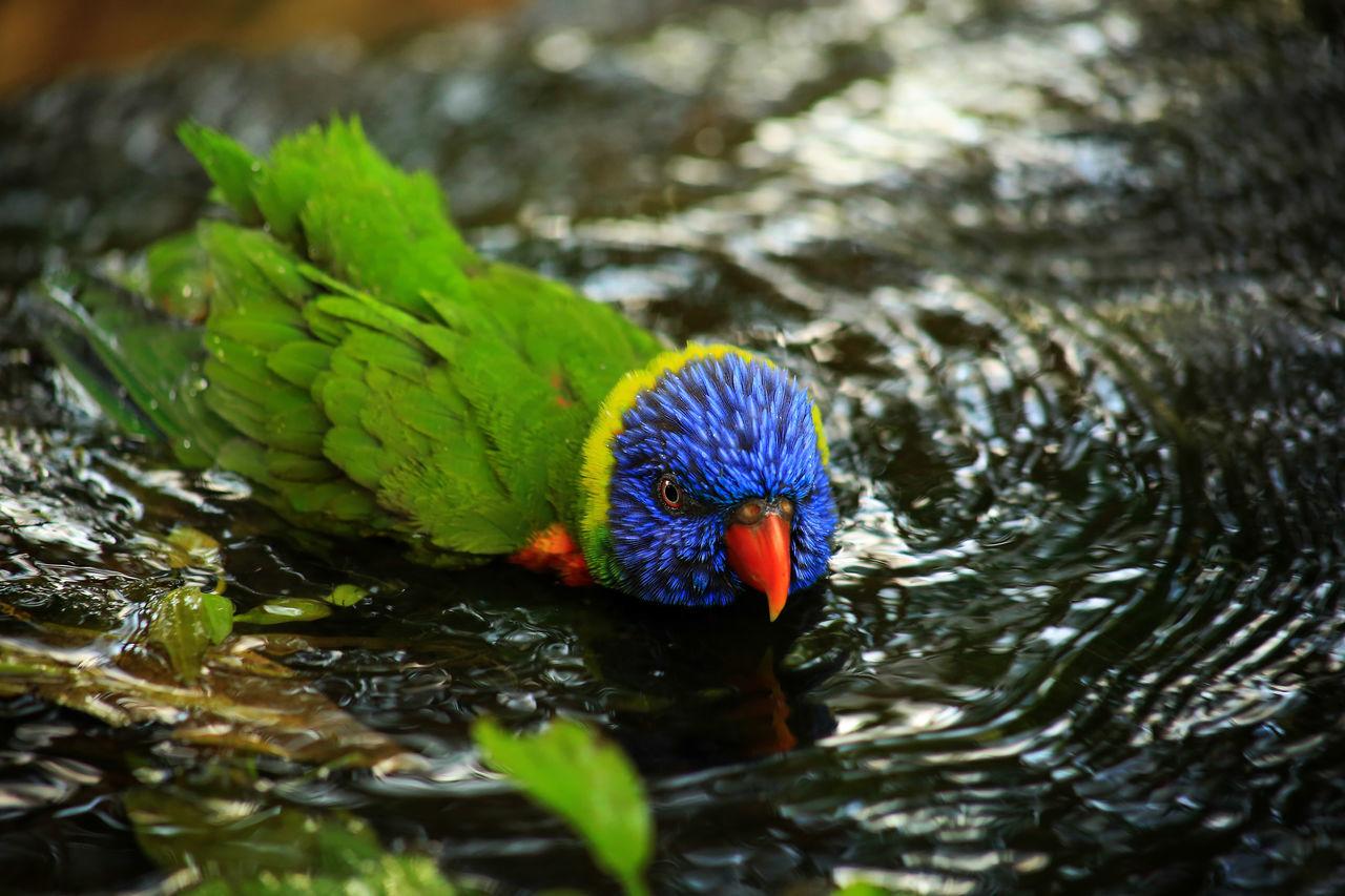 Animal Animal Wildlife Bath Bathing Beauty In Nature Bird Birds Colorfol Cute Funny Green Color Joy Joyful Nature Outdoors Parrot Water