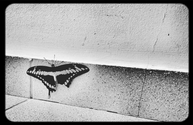 The broken one. Don Filter Blackandwhite Butterfly Nature