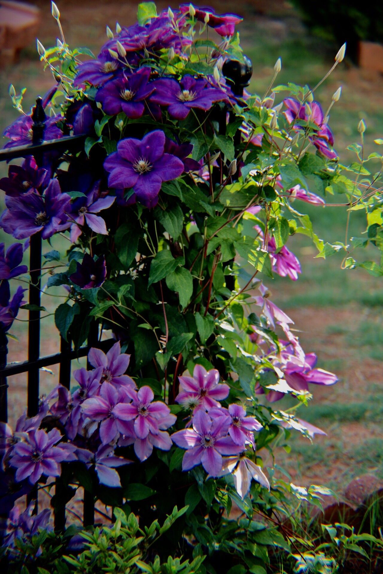 Garden Photography Garden Flowers Flower Growth Fragility Plant Petal Purple Beauty In Nature Nature Freshness Blooming Flower Head Day Outdoors Pink Color Leaf Springtime No People Close-up Clematis Clematis Flower
