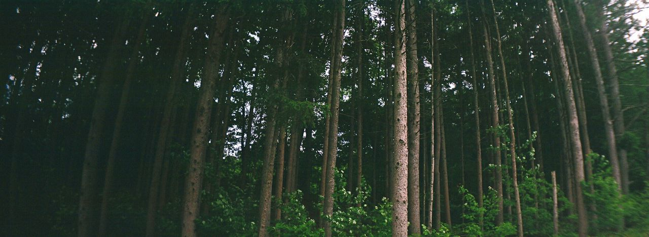 Koduckgirl Tree Nature Forest Beauty In Nature Growth Tranquility Scenics Low Angle View No People Film Sprocket Rocket Panorama Tree Trunk Tree