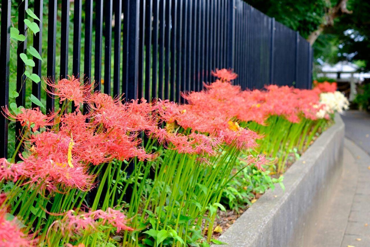 彼岸花 Flower 彼岸花 曼珠沙華 Redspiderlily Flowerporn Fujifilm_xseries Flower Collection Fujixe2 Fujifilm X-E2 Fujifilm