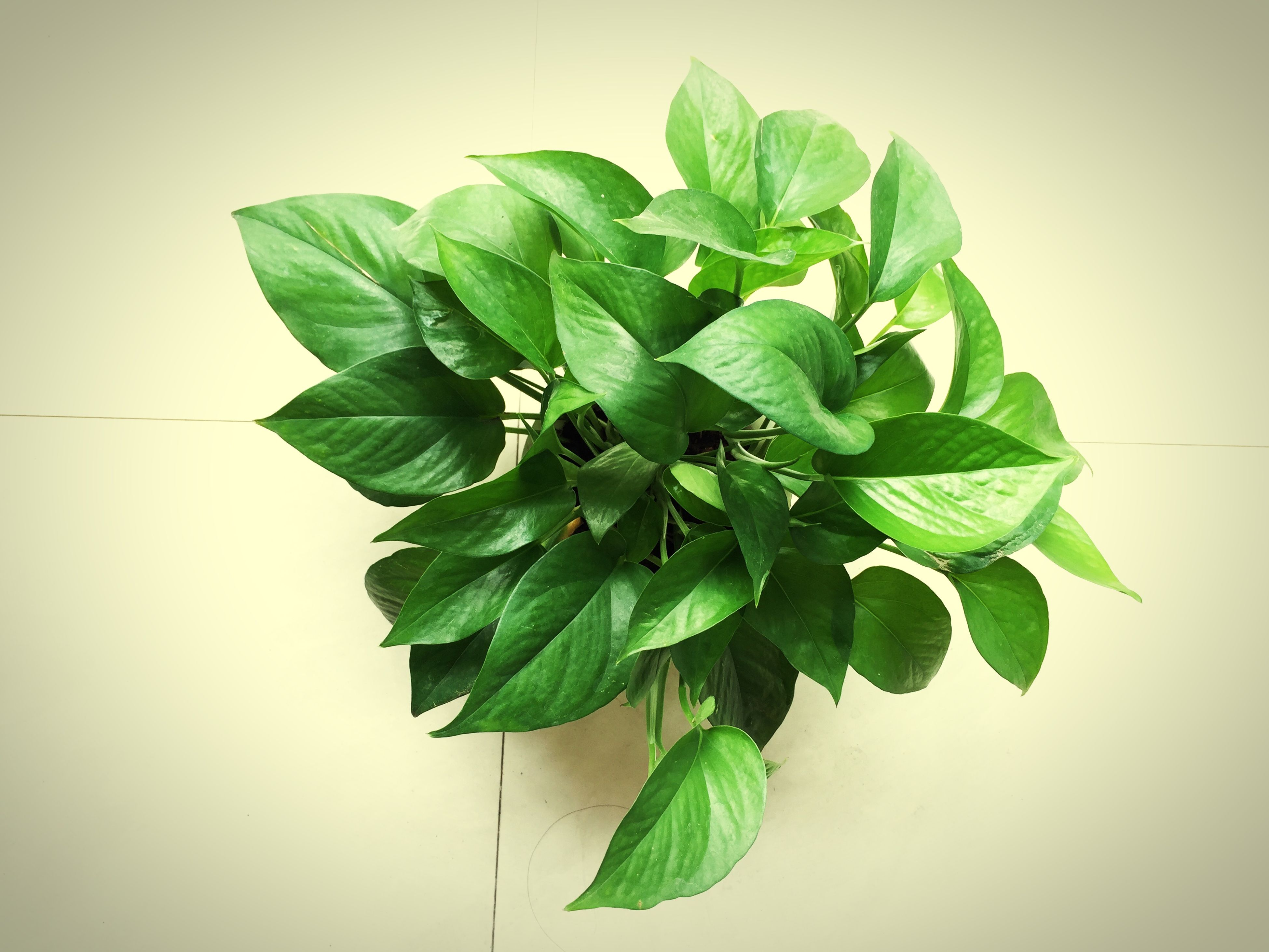 leaf, green color, growth, plant, leaf vein, white background, close-up, studio shot, freshness, nature, stem, green, leaves, fragility, beauty in nature, potted plant, no people, botany, indoors, wall - building feature