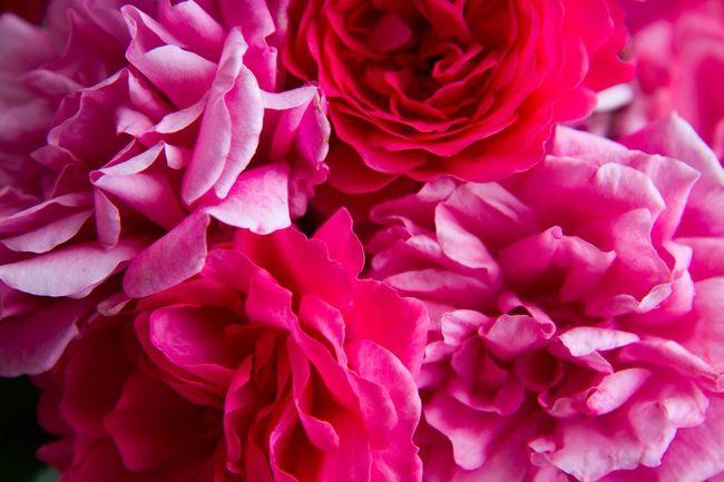 Rosen 🌷 Flowers 🌹 Rose♥ EyeEm Bestsellers