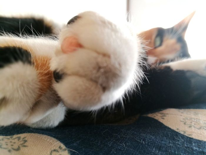 Calico Cat Paw Close-up Whisker Cat Cute Love Cat Fur Pets No People Animal Body Part Relaxation Sleepy Sunlight Zabuton One Animal Domestic Cat Domestic Animals Animal Themes Animal Indoors  Feline Animal Hair Looking At Camera Lying Down