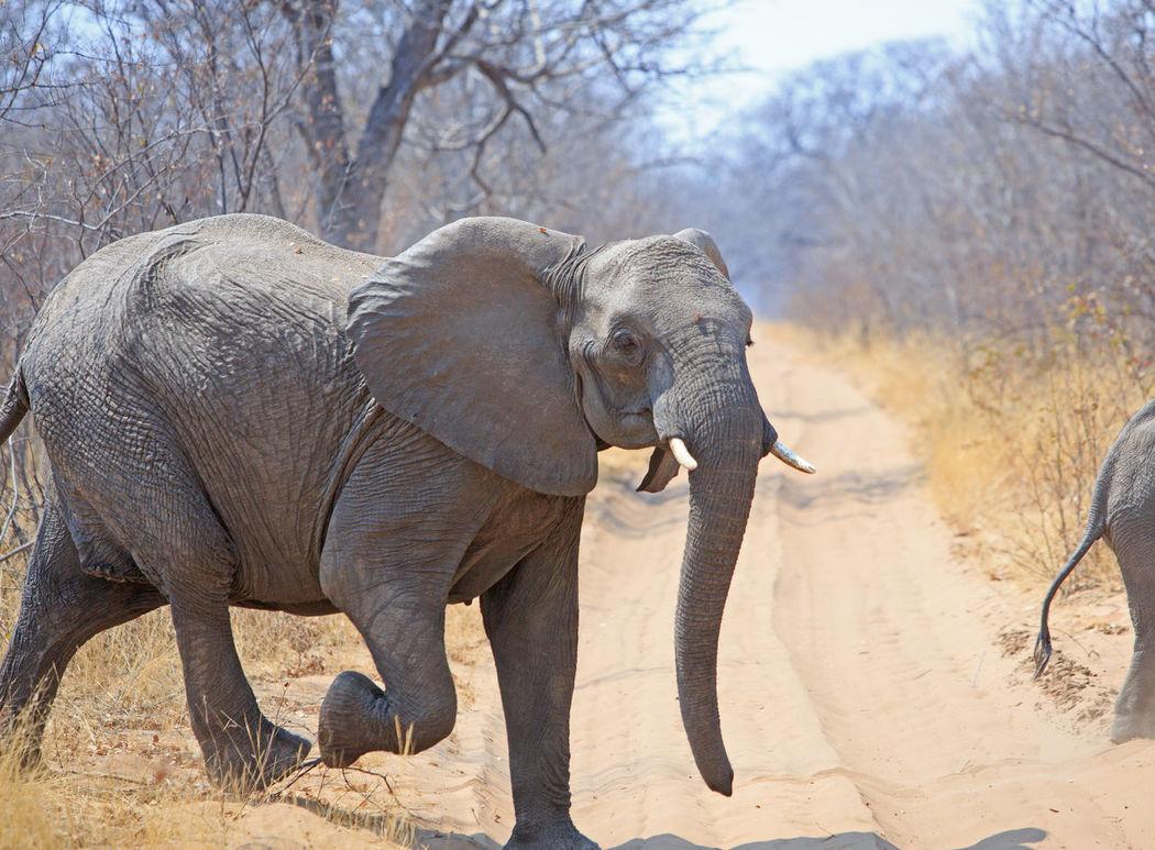 African Elephant Animal Animal Themes Animal Wildlife Animals In The Wild Day Elephant Hwange National Park Loxodonta Africana Mammal Nature No People Outdoors Pachyderm Running Animal Safari Animals Southern Africa Startled Tree Zimbabwe