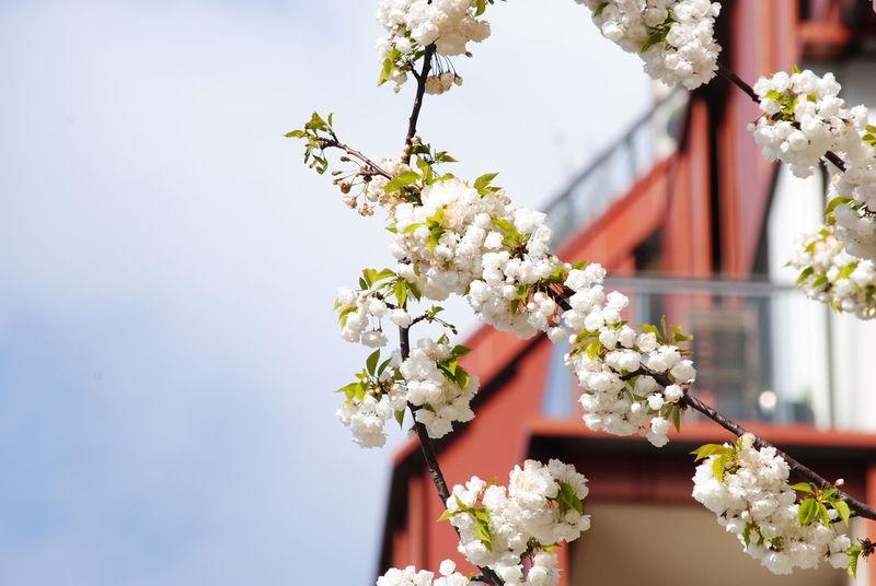 Kirschblüte in der Hafencity Flower Blossom Springtime Beauty In Nature Freshness Flower Head Close-up Architecture Building Exterior Eye4photography  Eye4photography  Hamburg Hafencity Hafen Cherry Blossoms Cherry Cherry Blossom White Kirschblüte Kirschblüten