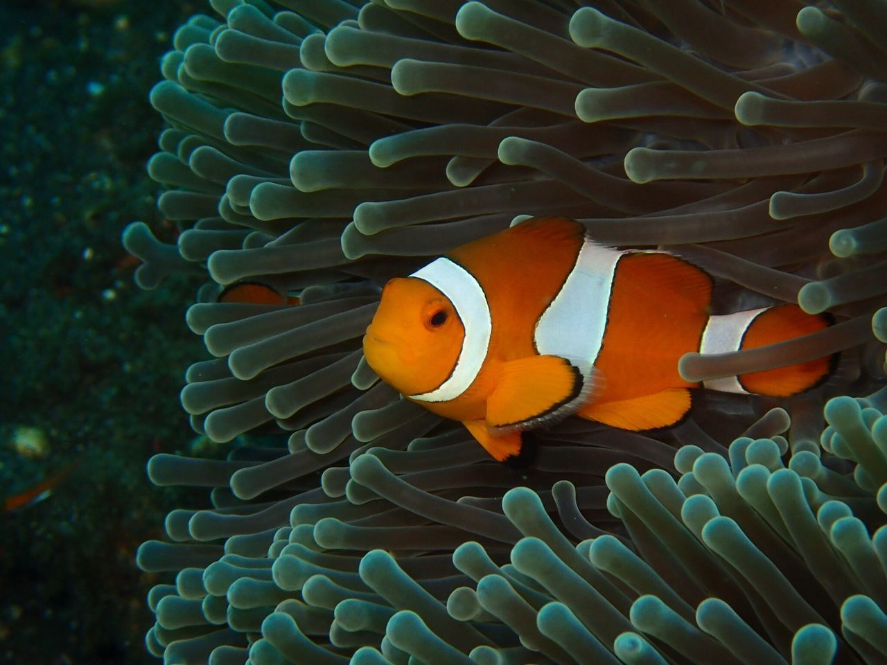clown fish, underwater, sea life, undersea, fish, animal themes, sea anemone, sea, symbiotic relationship, animals in the wild, one animal, animal wildlife, coral, no people, water, nature, close-up, swimming, beauty in nature, outdoors, day