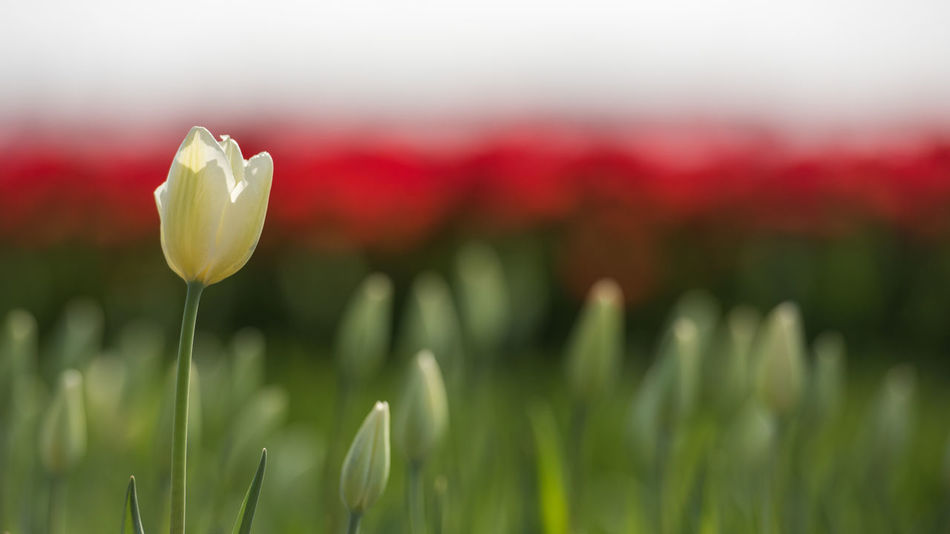 White tulips, getting ready to bloom together with the fields of red. Close-up Day Field Flora Flower Flower Head Fragility Freshness Growth Landscape Nature No People Outdoors Petal Plant Single Tulip White Resist