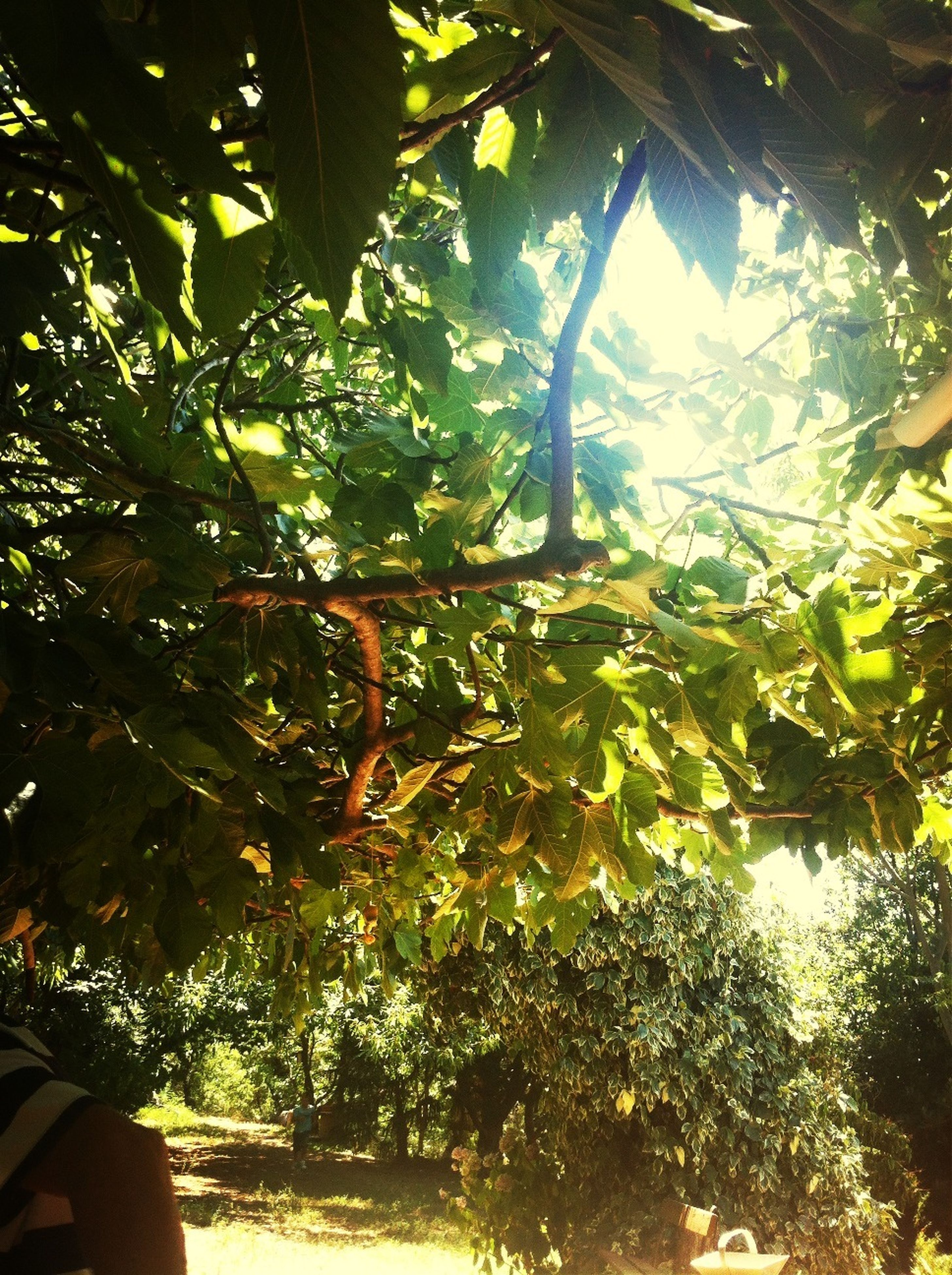 tree, growth, branch, tranquility, sunlight, leaf, nature, green color, tree trunk, tranquil scene, beauty in nature, scenics, sun, day, sunbeam, outdoors, low angle view, forest, sunny, sky