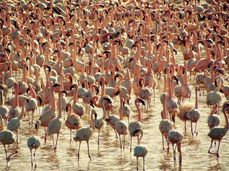Pink flamingos at Lake Bogoria, Kenya Animal Themes Animal Wildlife Animals In The Wild Bird Colony Day Flamingo Kenya Large Group Of Animals Nature Outdoors Pink Water
