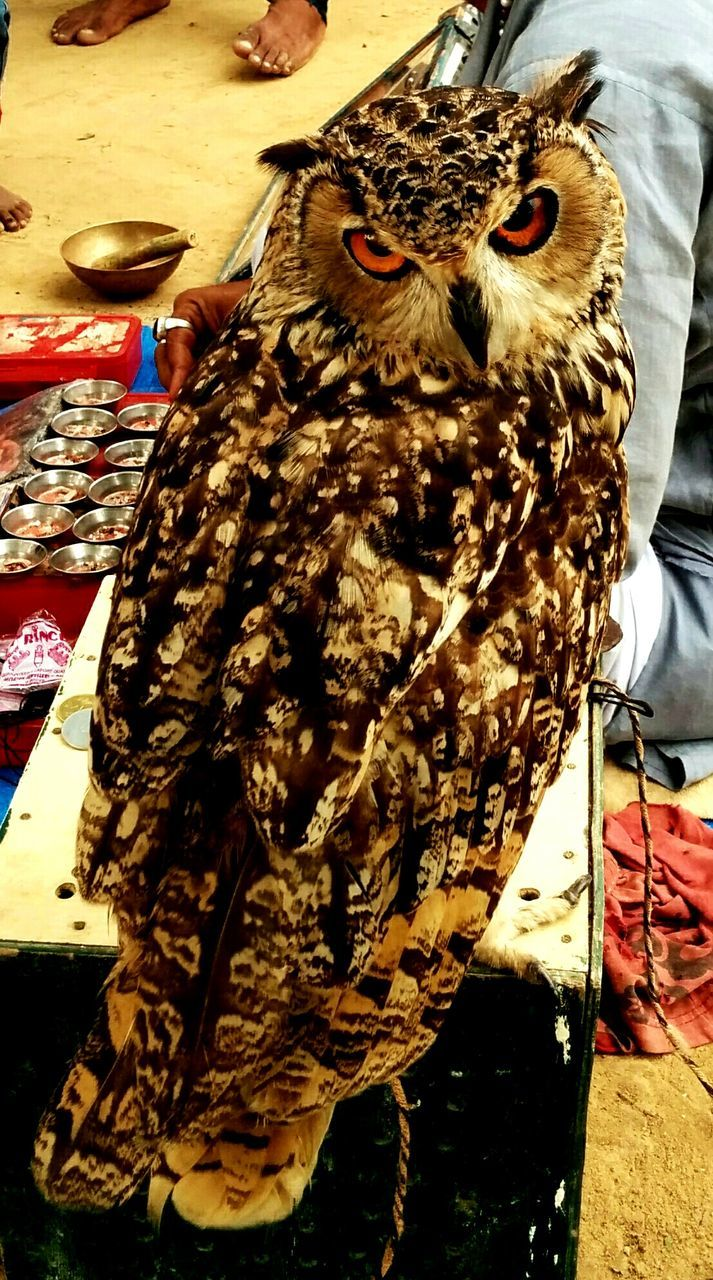 bird, animal themes, animals in the wild, one animal, day, close-up, bird of prey, outdoors, owl, animal wildlife, no people, food, nature, perching