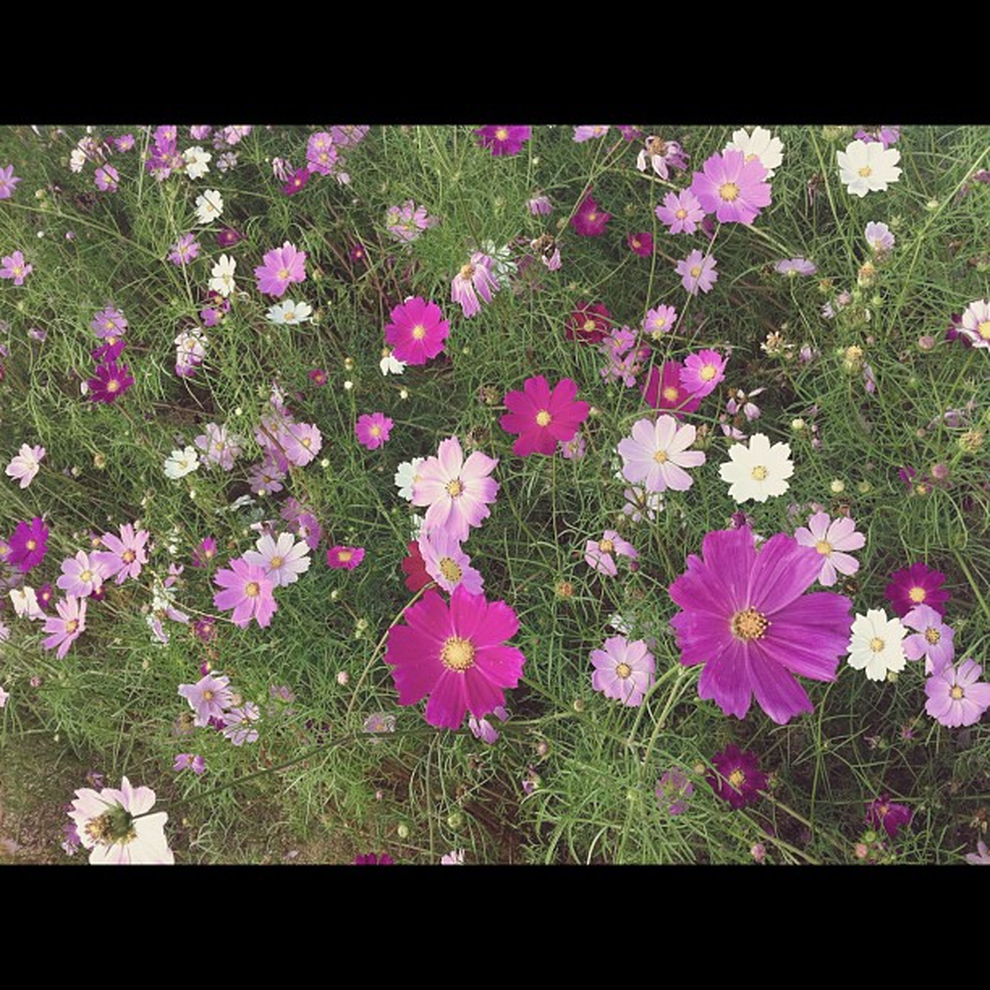 flower, transfer print, freshness, growth, fragility, auto post production filter, beauty in nature, petal, nature, plant, leaf, flower head, pink color, blooming, field, high angle view, blossom, in bloom, purple, day
