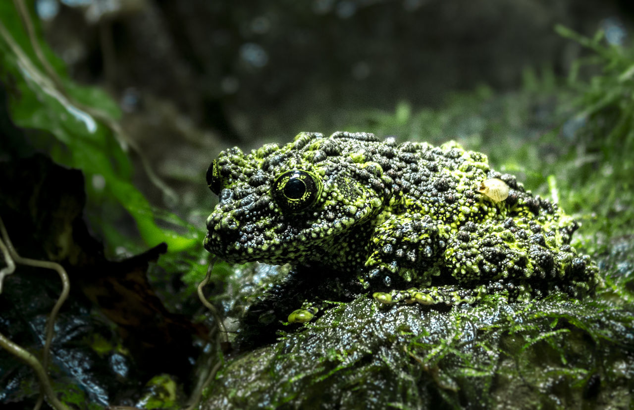 Beautiful stock photos of frosch, Amphibian, Animal Eye, Animal Themes, Animal Wildlife