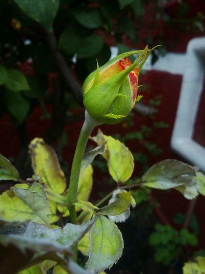 Flowers Rosé Taking Photos Nature Nature Rose Button Growing Garden