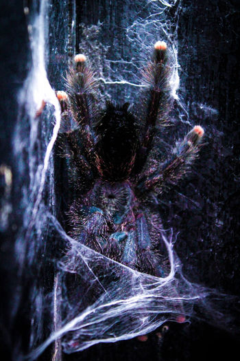 Beautiful Animals  Big Spider Fear Ghost Halloween Spider Spider Portrait Wild Animal Animal Themes Avicularia Avicularia Metallica Avicularia Versicolor Close-up Day Hairy Spider Indoors  Nature No People Scary Scary Face Spider Photography Spiders Tarantula