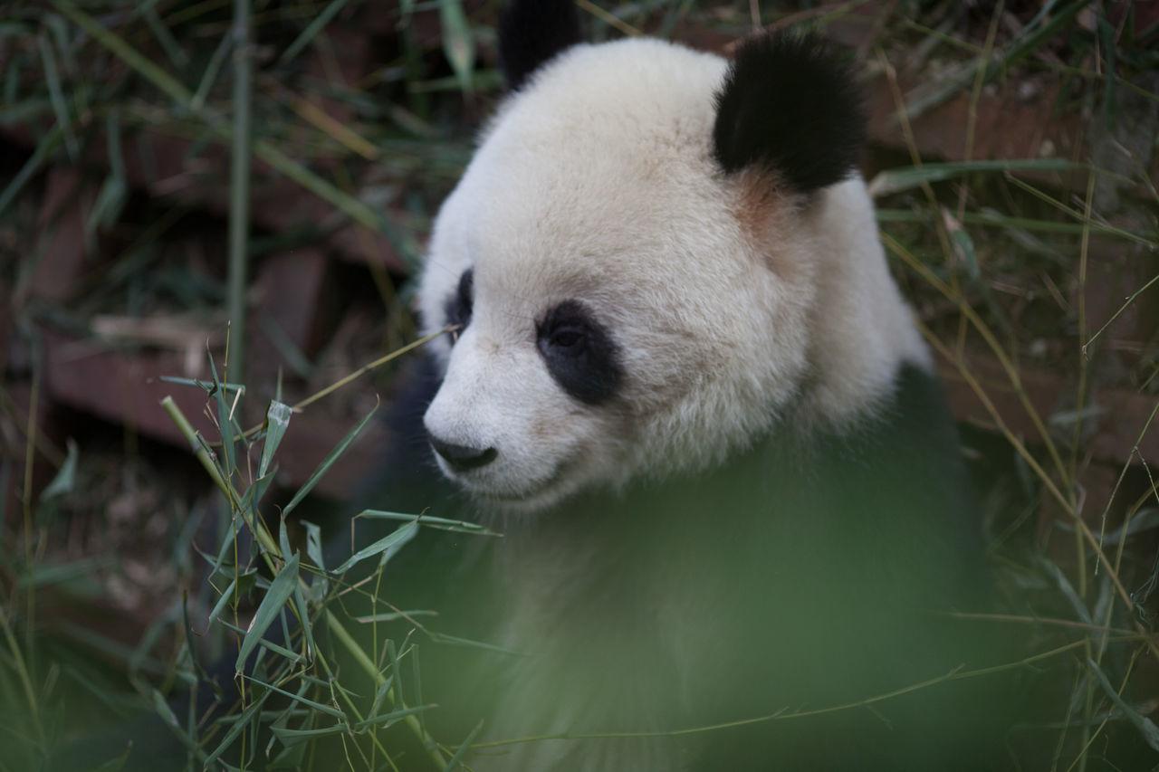 Beautiful stock photos of panda, Animal, Animal Behavior, Animal Face, Animal Hair