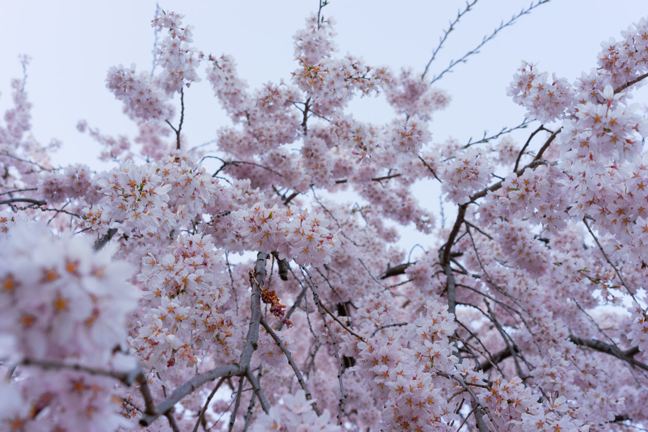 flower, springtime, tree, blossom, branch, nature, beauty in nature, growth, fragility, no people, day, pink color, outdoors, low angle view, close-up, freshness, plum blossom, bee, animal themes, sky, flower head
