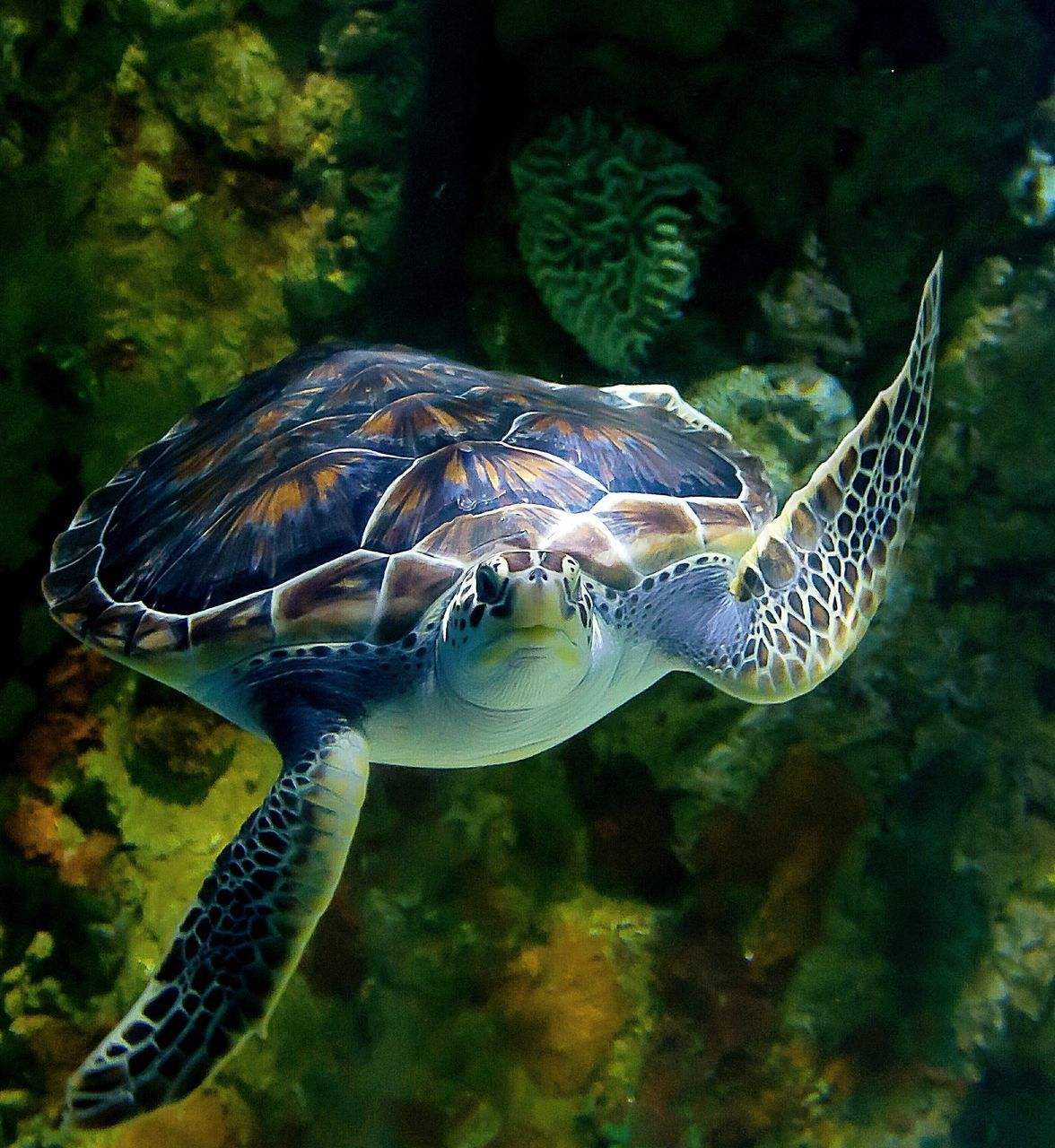 one animal, sea life, underwater, animal themes, animals in the wild, turtle, swimming, water, sea turtle, nature, animal wildlife, undersea, wildlife, sea, fish, no people, close-up, beauty in nature, reptile, aquarium, day, tortoise shell, outdoors