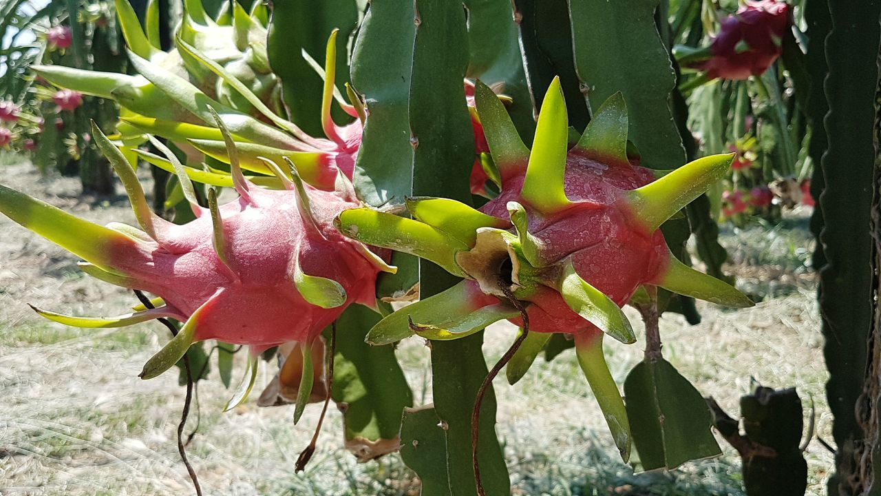 Growth Plant Nature Green Color Close-up Outdoors Beauty In Nature Red Pink Color No People Freshness Leaf Flower Day Tree Fragility Flower Head dragonfruit Dragonfruitplant Tacu Mountain Vietnamphotography