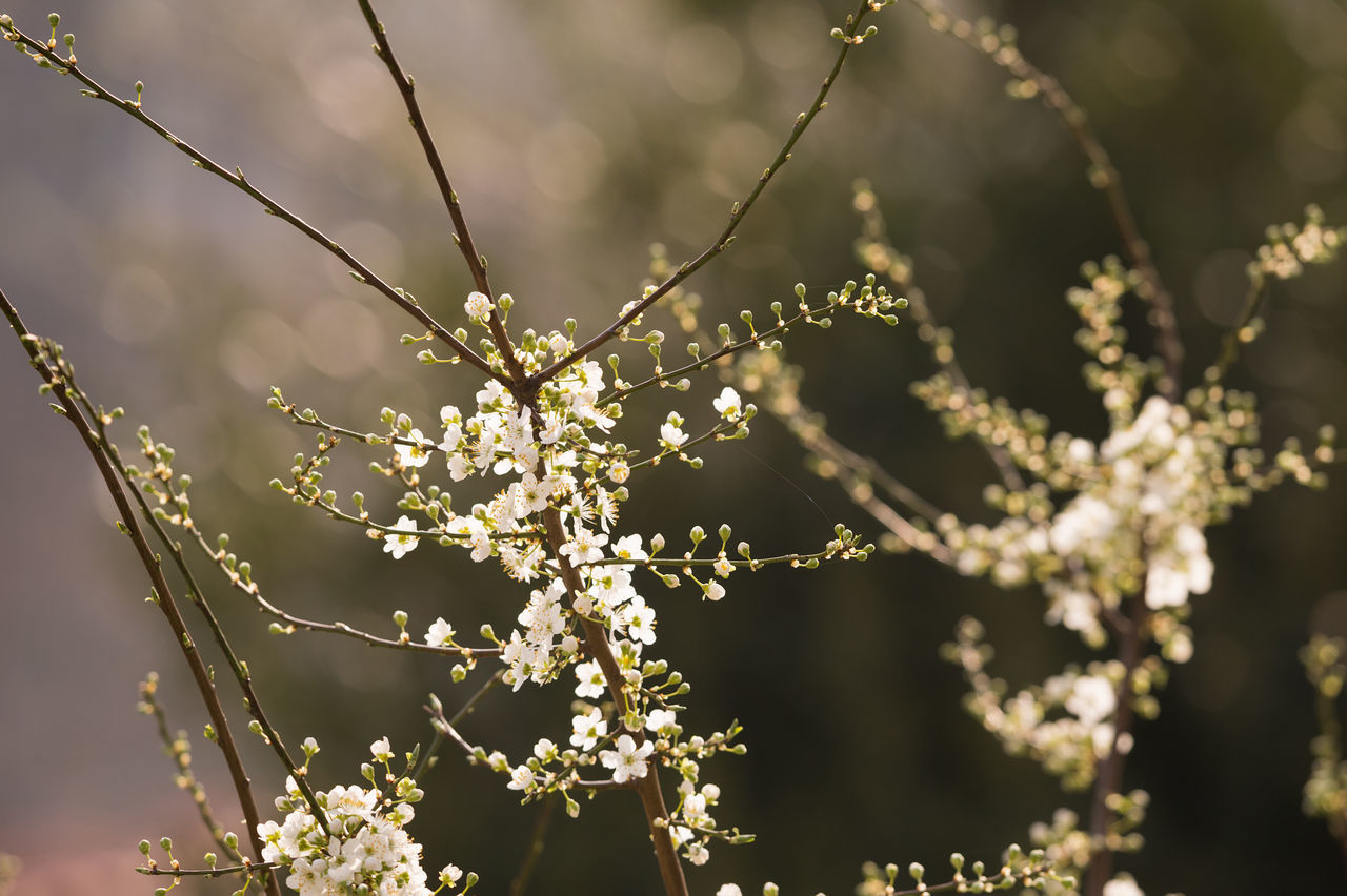 Spring Bloom. Nature Close-up Plant No People Beauty In Nature Outdoors Spring Springtime Spring Flowers Bokeh Focus On Foreground Blooming BloomNature Photography Flowers Bokehlicious Fresh Freshness Flower Sunlight White White Color Geometric Backgrounds Nature_collection