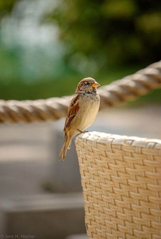 Sparrow (photo taken at a lakeside café in Bled, Slovenia ). EyeEm Birds Sparrows EyeEm Nature Lover Enyoing Nature Birds Bird Photography Animal Focus On Foreground Outdoors No People Back Of A Chair Chair Bird Sitting On Chair Upright