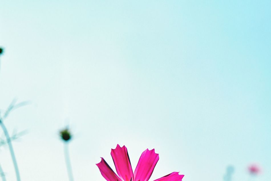 Beautiful stock photos of pink, Beauty In Nature, Blooming, Clear Sky, Copy Space