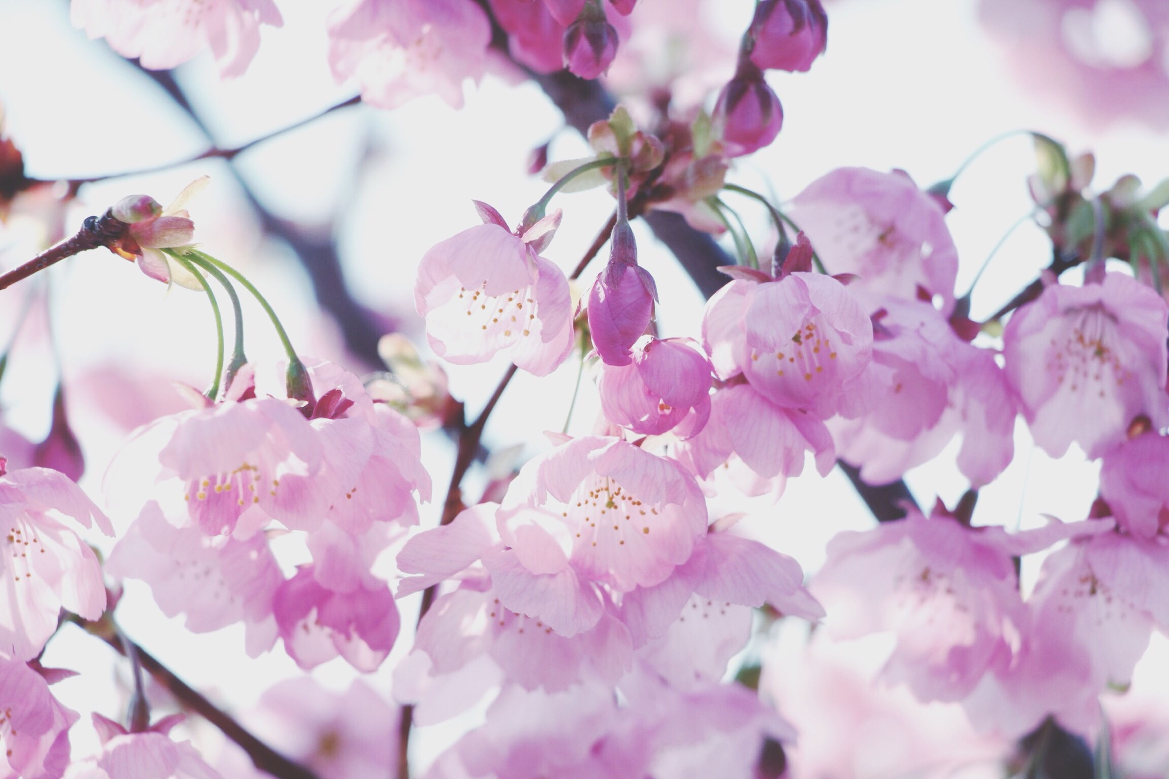 flower, freshness, fragility, pink color, growth, beauty in nature, cherry blossom, petal, branch, blossom, nature, tree, cherry tree, close-up, in bloom, pink, focus on foreground, blooming, flower head, springtime