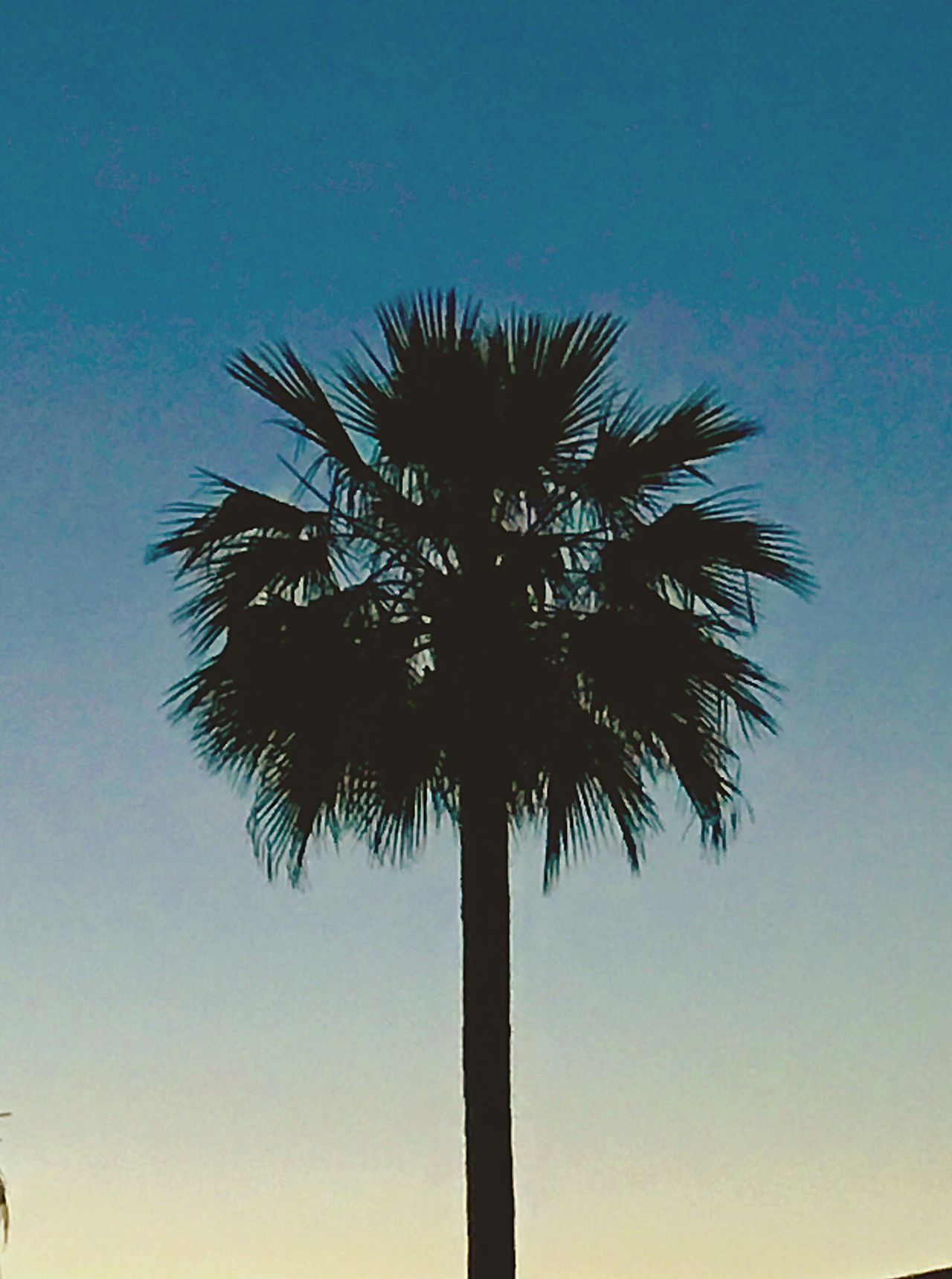 The lone Palm Low Angle View Tree Blue Growth Clear Sky No People Beauty In Nature Nature Tree Trunk Scenics Sky Outdoors Silhouette Tranquility Day Palm Frond Single Tree Dusk Sky