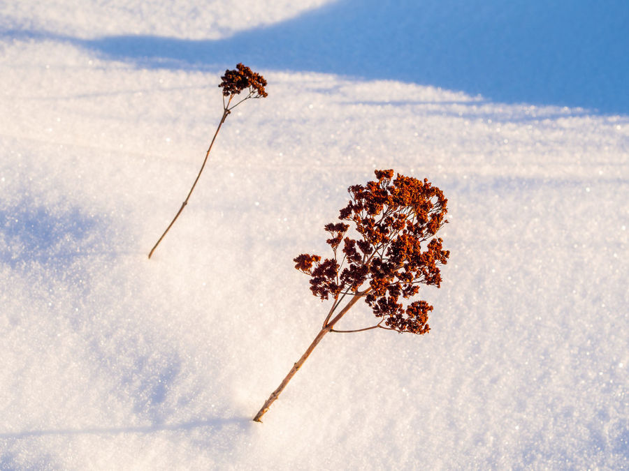 Resisting the snow... Beauty In Nature Close-up Dry Fragility Growth Low Angle View Nature Snow Snow Plants Winter